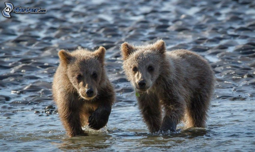 braunbären, Jungtiere, Wasser