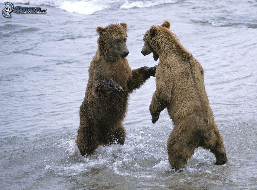 braunbären, Wasser
