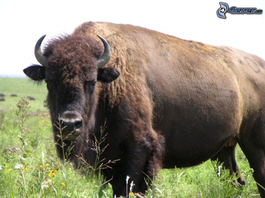 Büffel