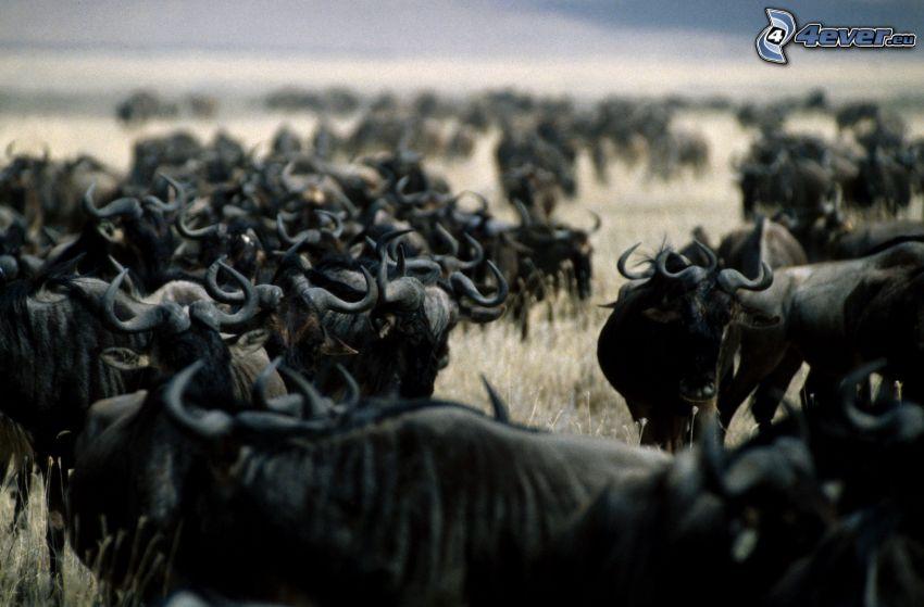 byvoly, Herde von Tieren