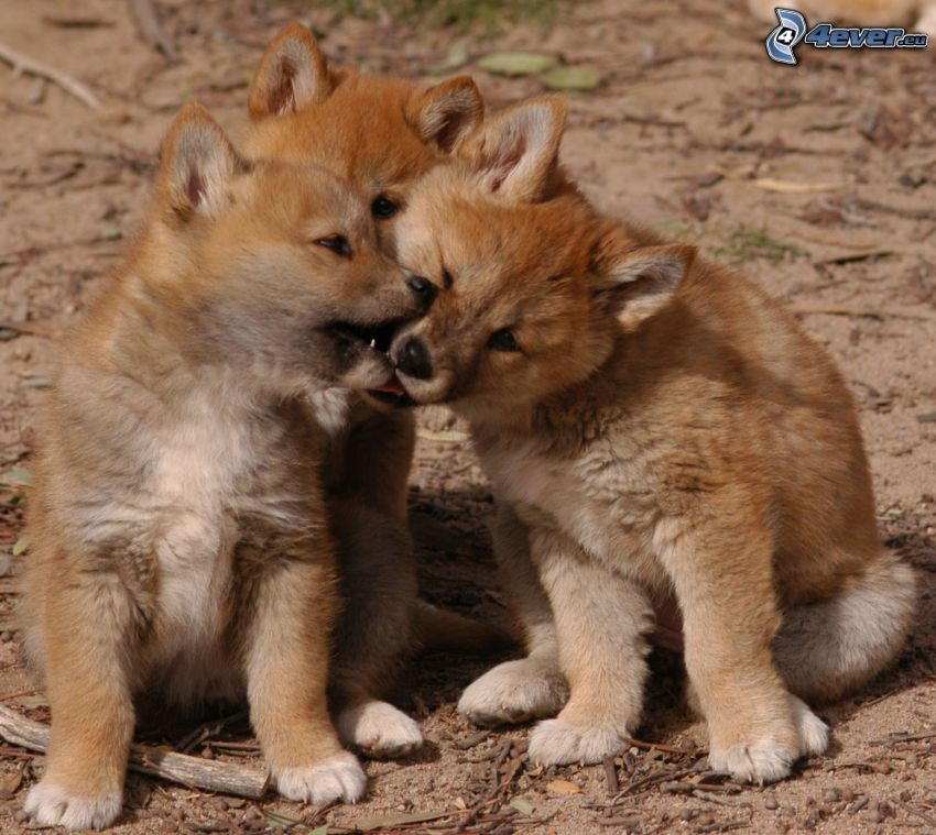 Dingo, Jungtiere