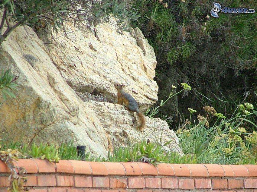 Eichhörnchen, Nagetier