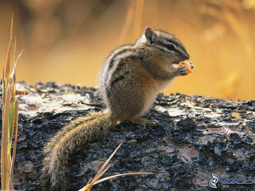 Eichhörnchen, Nahrung, Stamm