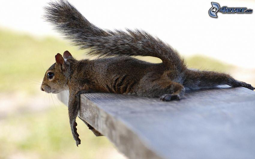 Eichhörnchen, Sitzbank, Rast
