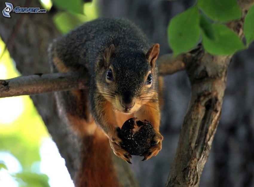 Eichhörnchen auf dem Baum, Nuss, Ast