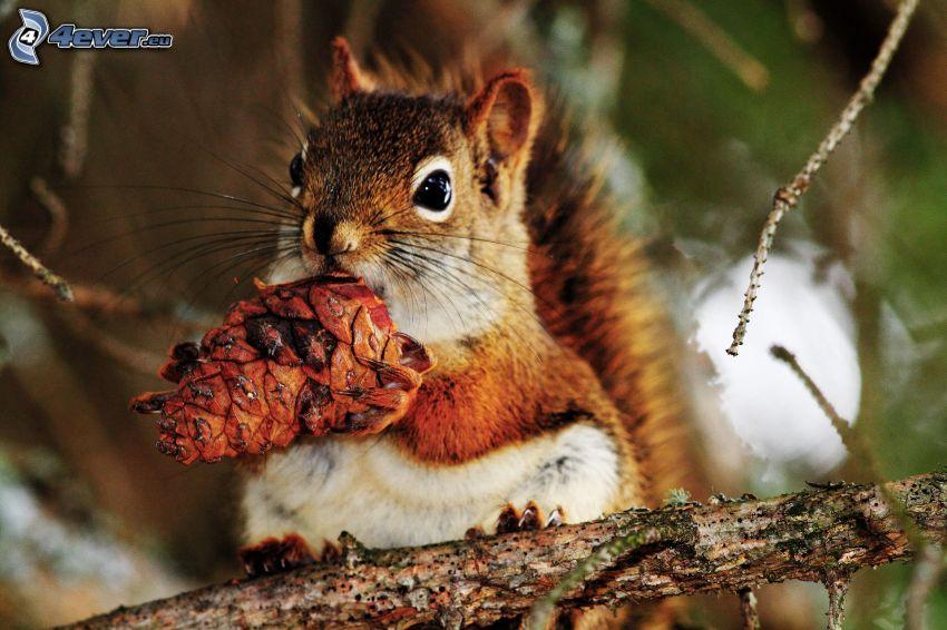 Eichhörnchen auf dem Baum, Zapfen