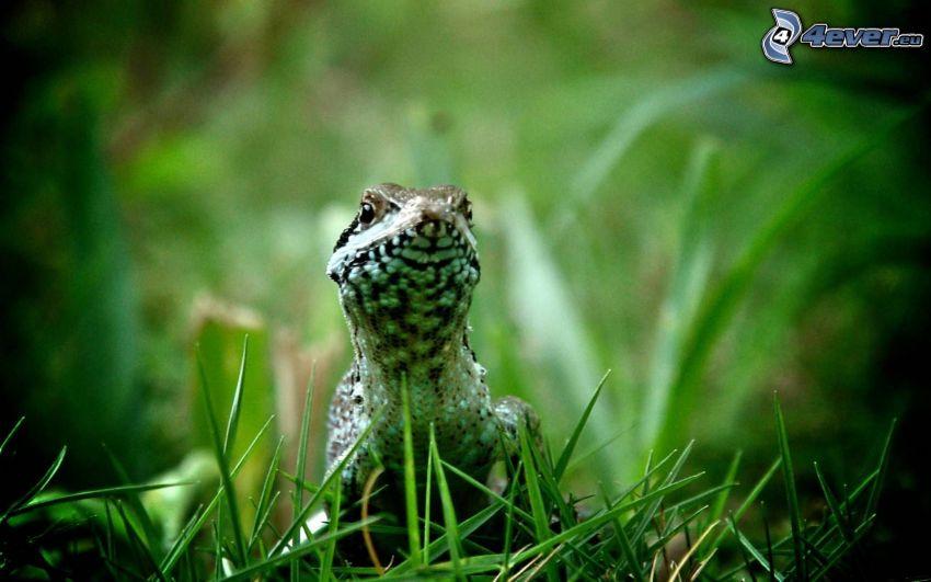 Eidechse, grünes Gras