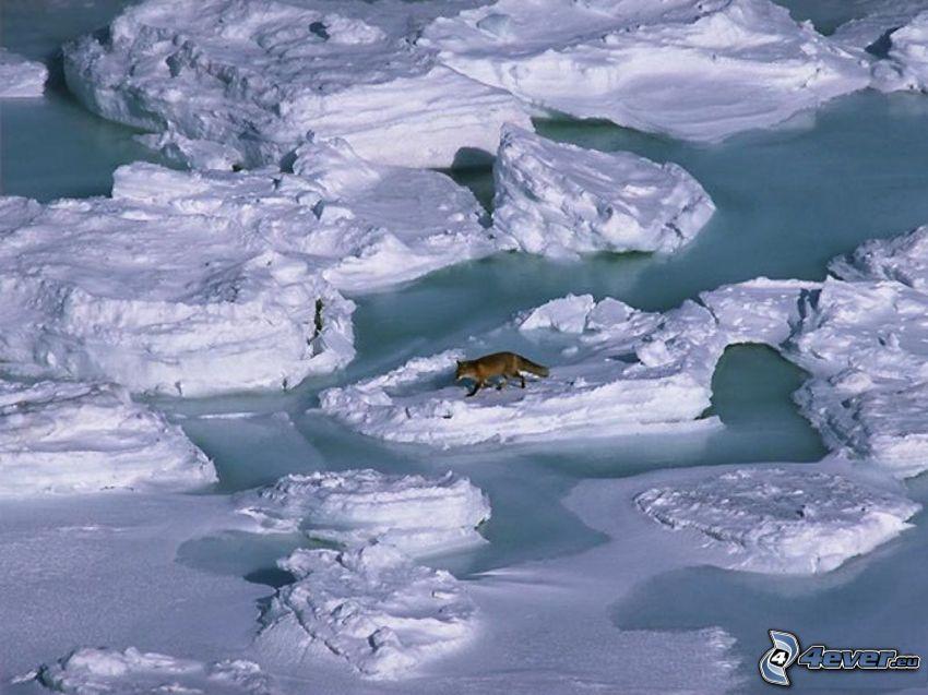 Eis, Schnee, Fuchs