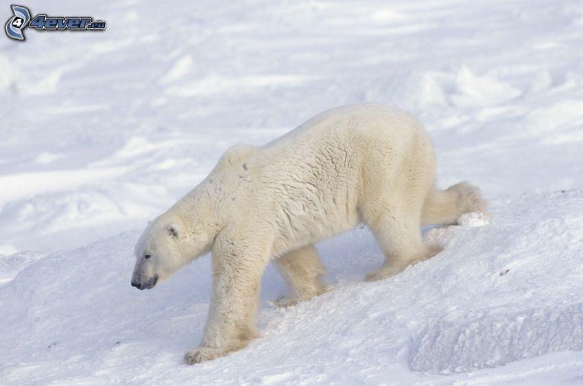 Eisbär, Schnee