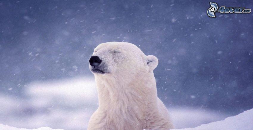 Eisbär, schneefall