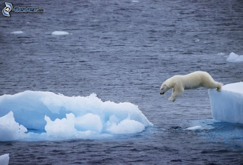 Eisbär, Sprung, Eisschollen, Polarmeer