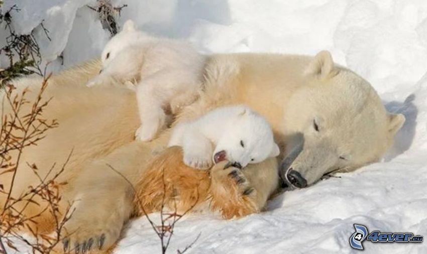 Eisbären, Jungtiere