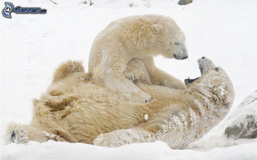 Eisbären, Schnee