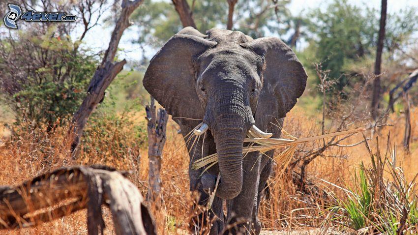 Elefant, safari, trockene Bäume