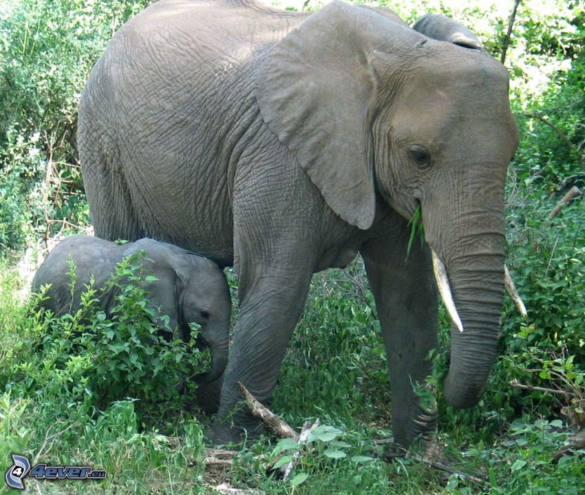 Elefanten, Elefantes Junge