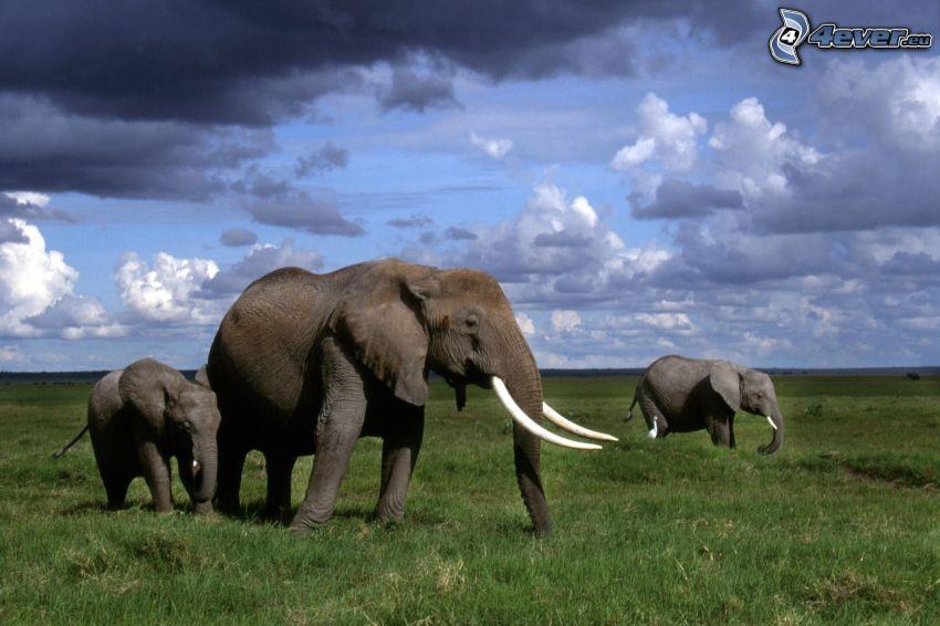 Elefanten, Wolken, Himmel, Gras
