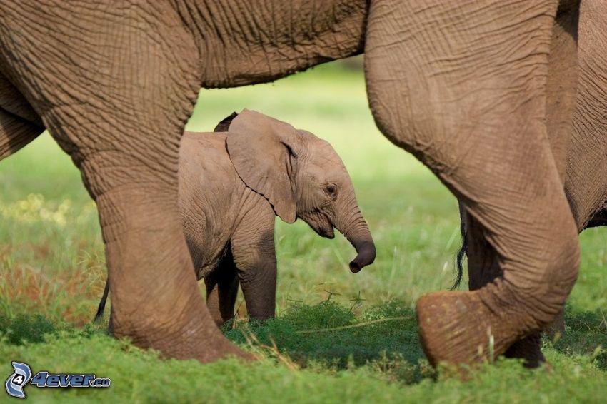 Elefantes Junge, Elefanten