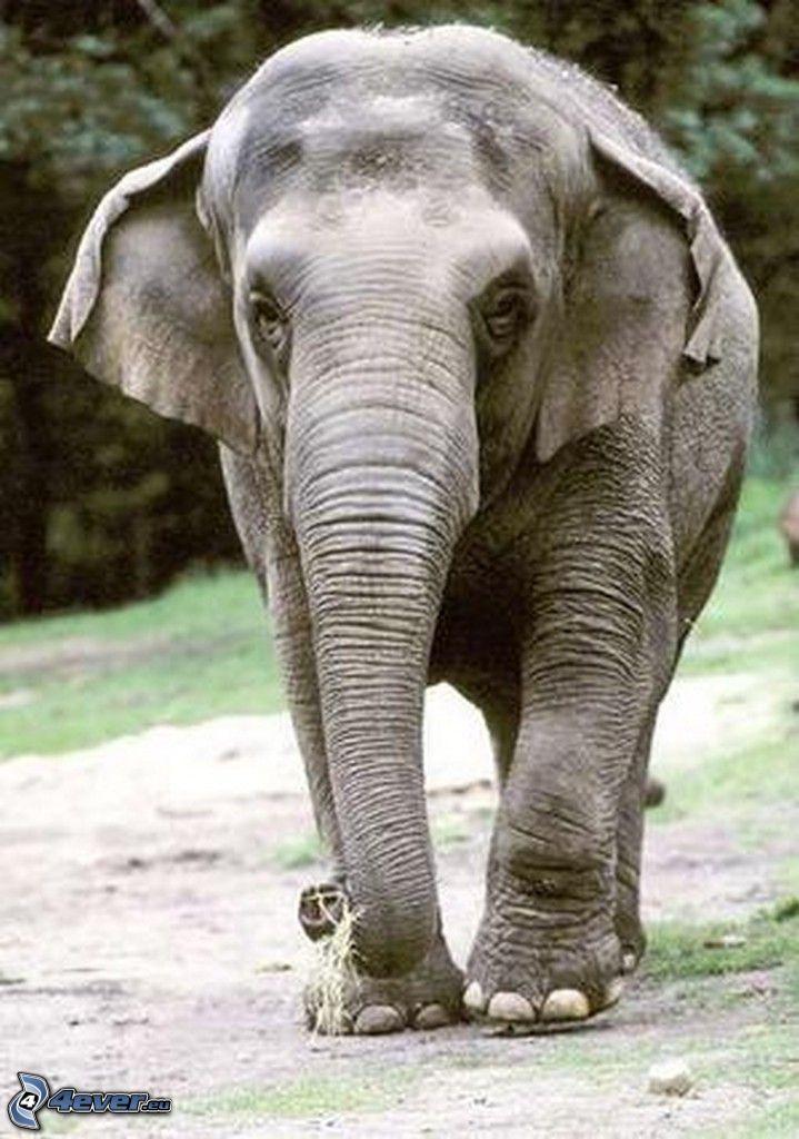 Elefantes Junge