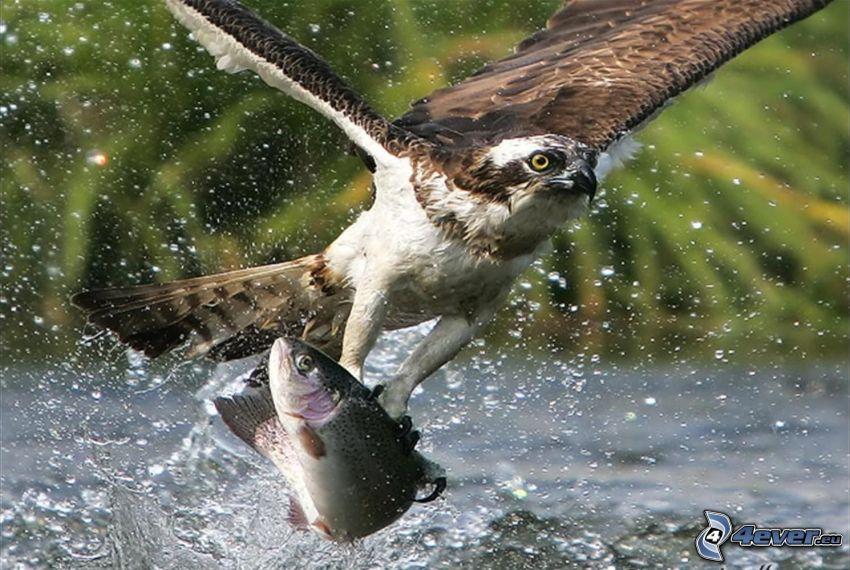 Falke, Forelle, Fang