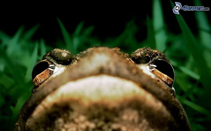 Frosch, Augen