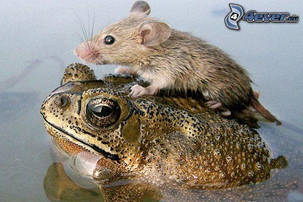 Frosch, Maus, See, Wasser
