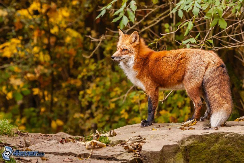 Fuchs, Felsen