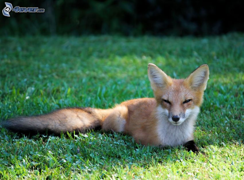 Fuchs, Gras