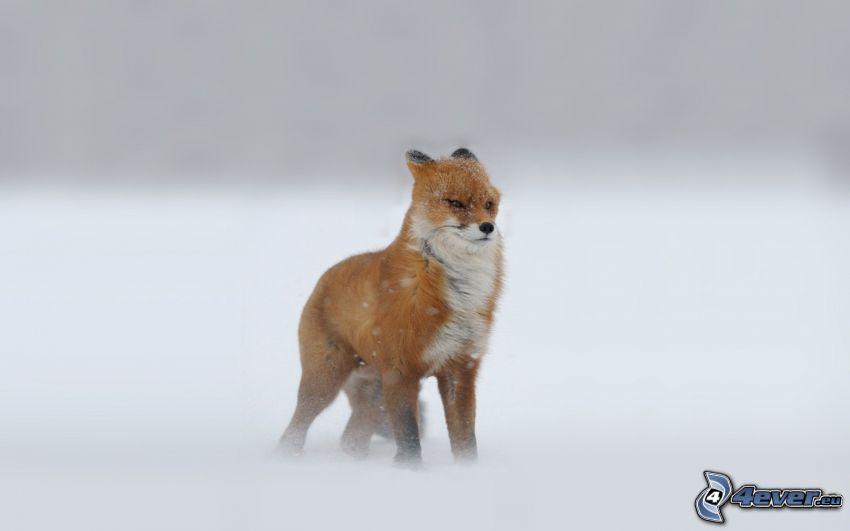 Fuchs, Schnee