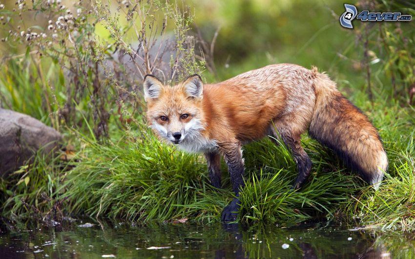 Fuchs, See