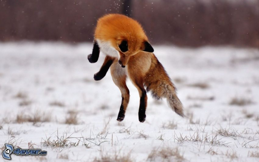 Fuchs, Sprung, Schnee