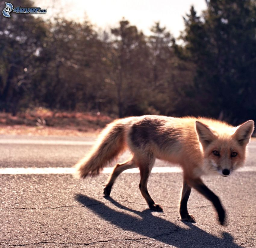 Fuchs, Straße, Wald