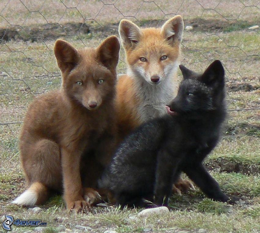 Füchse, farbige