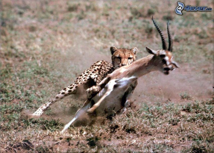 Gepard, Gazelle, Kampf