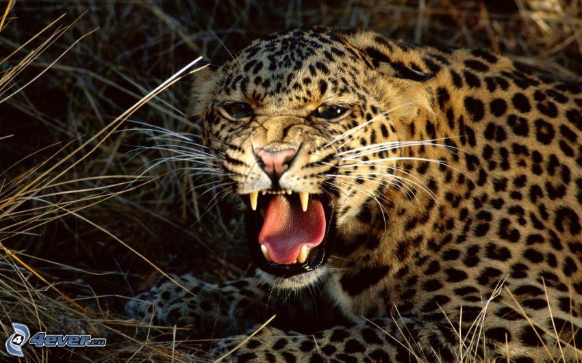 Gepard, Gebrülle, Raubtier