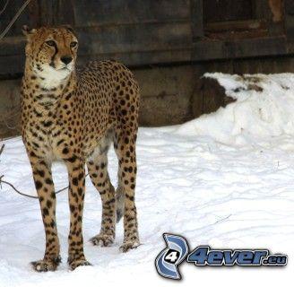 Gepard, Schnee