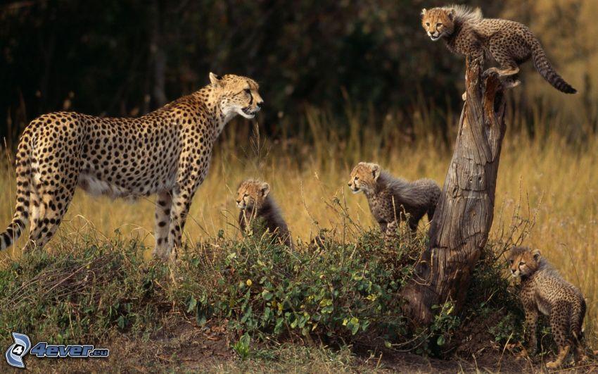 Geparden, Junge des Gepardes