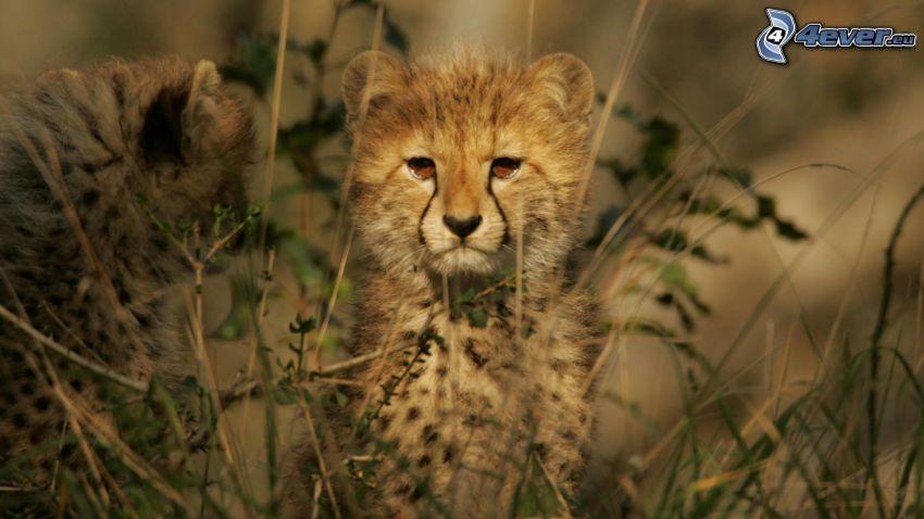 Geparden, Jungtiere, hohes Gras