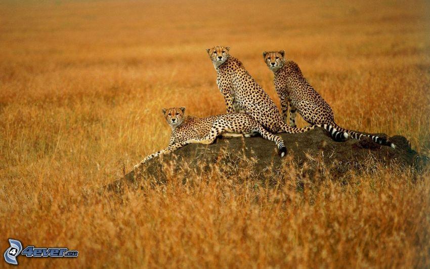 Geparden, Raubtier, Savanne, Afrika