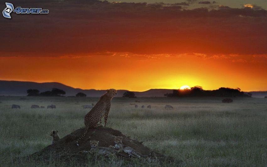 Geparden, Sonnenuntergang in der Savanne