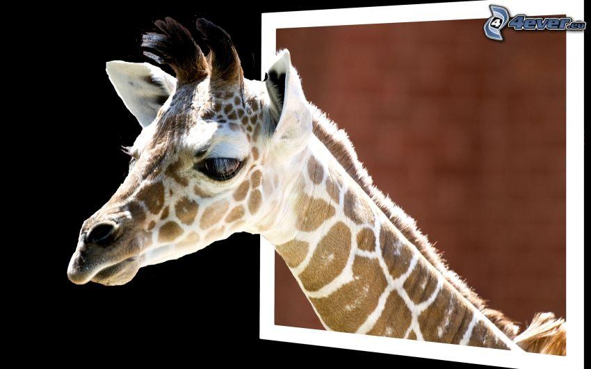 Giraffe im Fenster