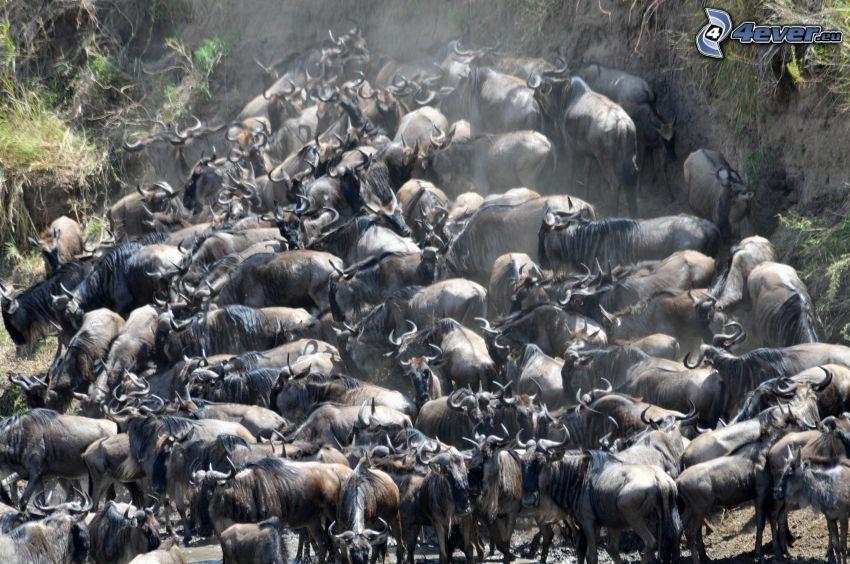 Gnus, Herde von Tieren