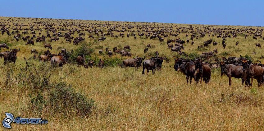 Gnus, Wiese, Herde von Tieren