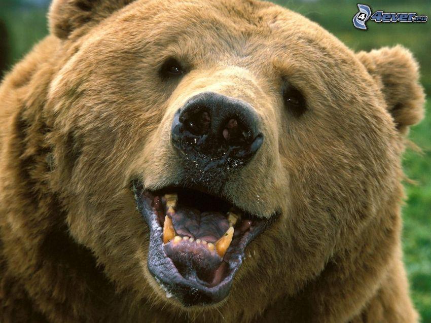 Grizzlybär, Maul