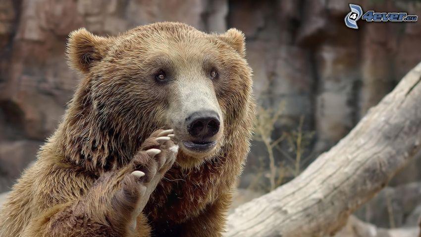 Grizzlybär, Pfote