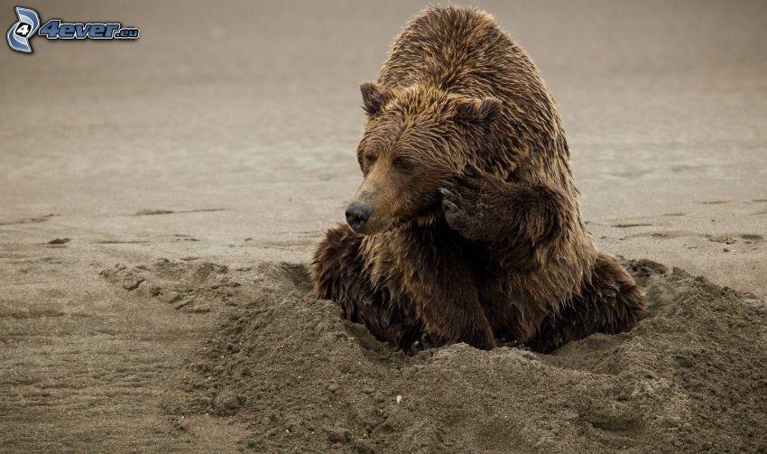 Grizzlybär, Sand