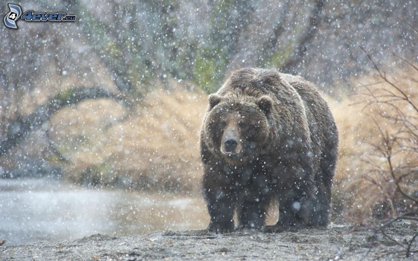 Grizzlybär, schneefall