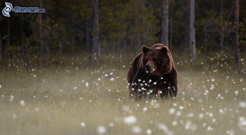 Grizzlybär, Wiese