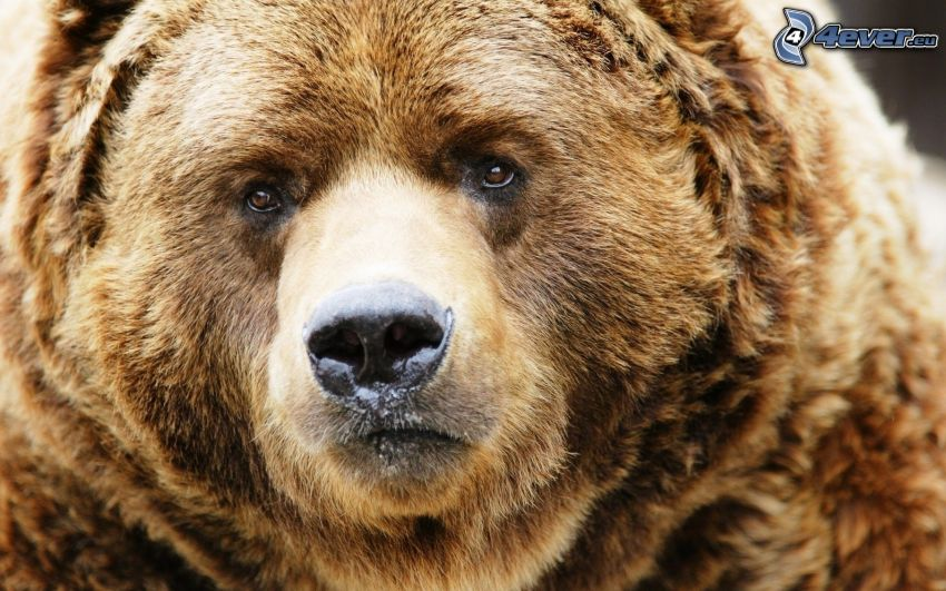 Grizzlybär