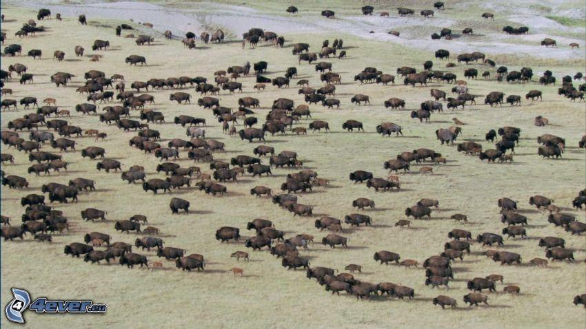 Herde von Tieren, byvoly