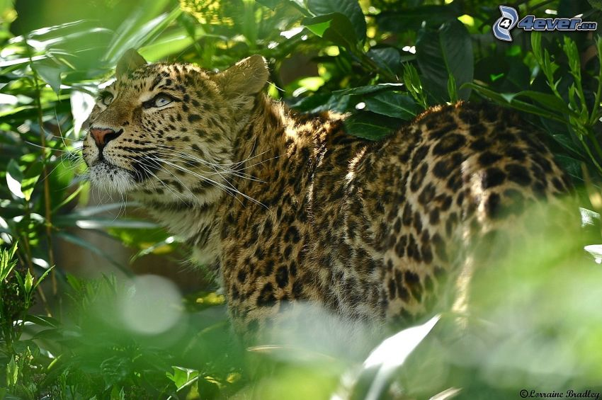 Jaguar, grüne Blätter